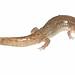 Northern Dusky Salamander (Desmognathus fuscus)