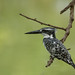 Pied Kingfisher, Senegal