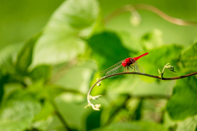The Red Dragonfly on the leaves in My Farm house, Laxman Dighi, Sitakunda, Chittagong,  Bangladesh!