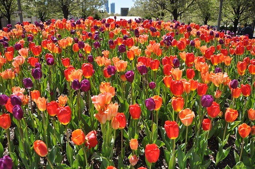 Tulipmania in Chicago