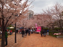 A whole bunch of Cherry Blossoms