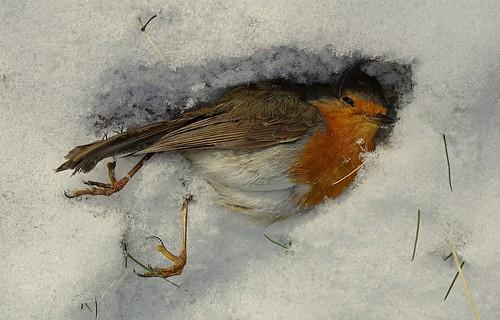 Död rödhake/Dead Robin