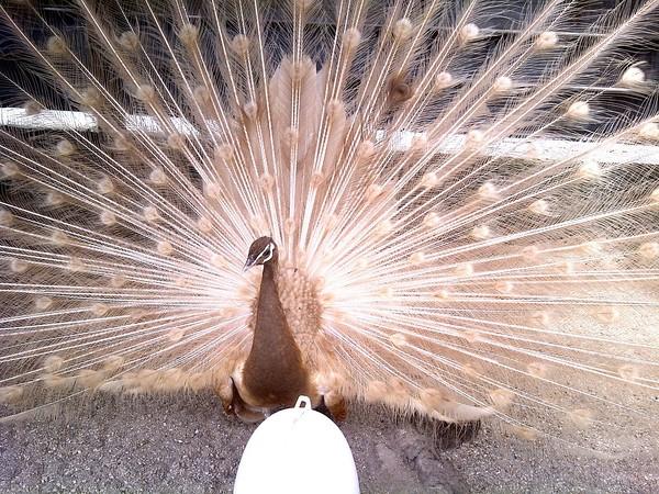 peach peacock