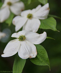 Flowering Dogwood ~ Virginia State Tree