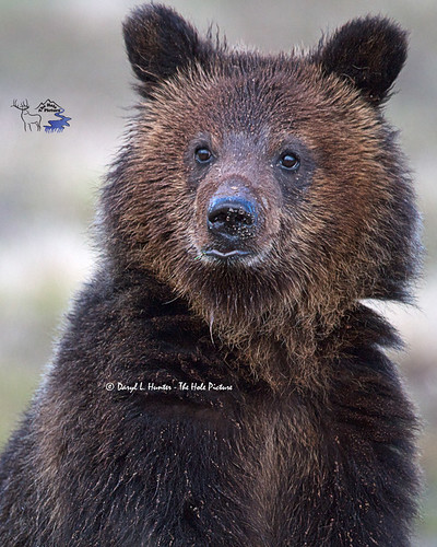 Grizzly Bear Cub, Yellowstone National Park (Explored)