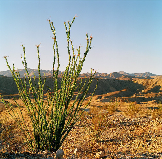 Ocotillo at sunrise, Coyote Mountains, Andrew D. Barron©1/9/12