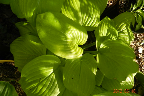Hosta 'The Shining'