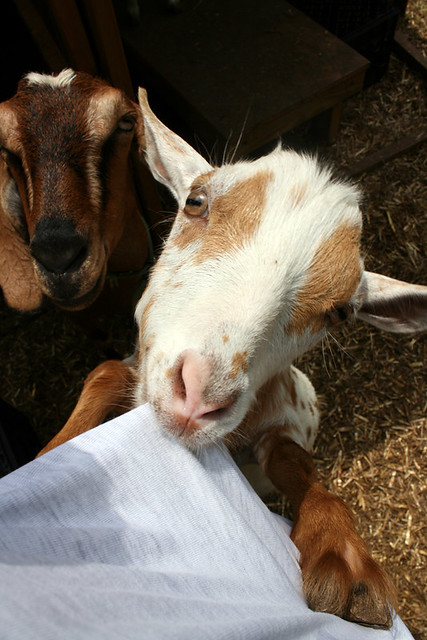 A photo from my POV that shows Esk, a tiny Nigerian Dwarf Goat who is white with orange spots, standing on her back legs with her front hooves on my hips and a mouthful of my t-shirt.