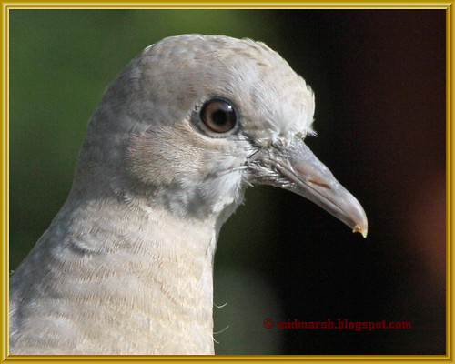 Juvenile Collared Dove 4375