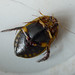 Small photo of Acilius sulcatus. Diving Beetle. u/s