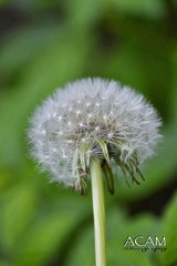 Twisted dandelion