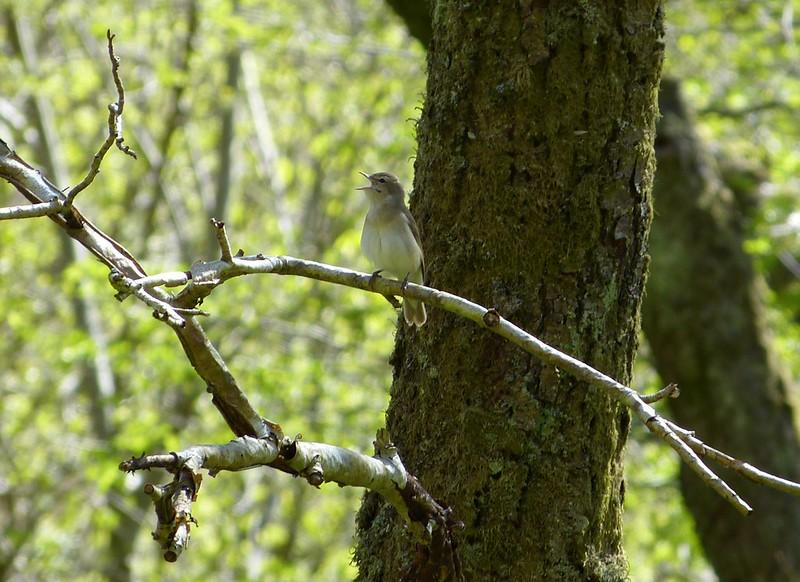 P1040889 - Garden Warbler, RSPB Dinas