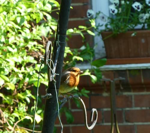 robin crop