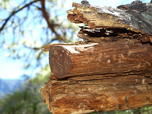 Tea wood, the heart of the Canary Pine tree