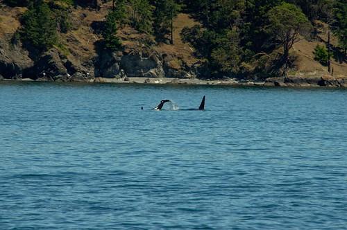 Orca Calf Tail Slap