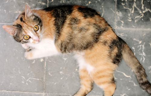 Jaspe, maravillosa tricolor de ojos cobrizos esterilizada nacida en Abril´11, necesita adopción. Valencia. ADOPTADA.  9142807056_6ef1738bfa