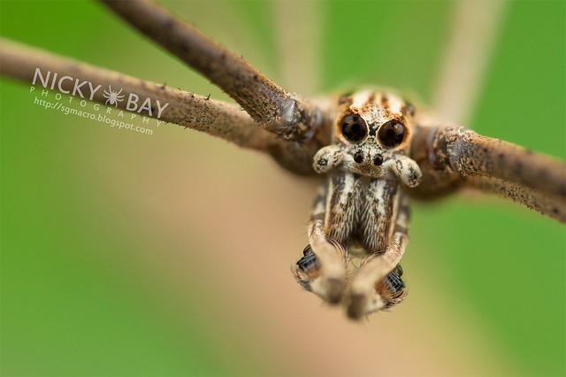 Net-Casting Spider (Deinopis sp.) - DSC_9418