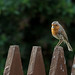 And the red red robin went bob bob bobing along by Made In London