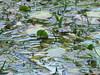 piante acquatiche in soffocamento