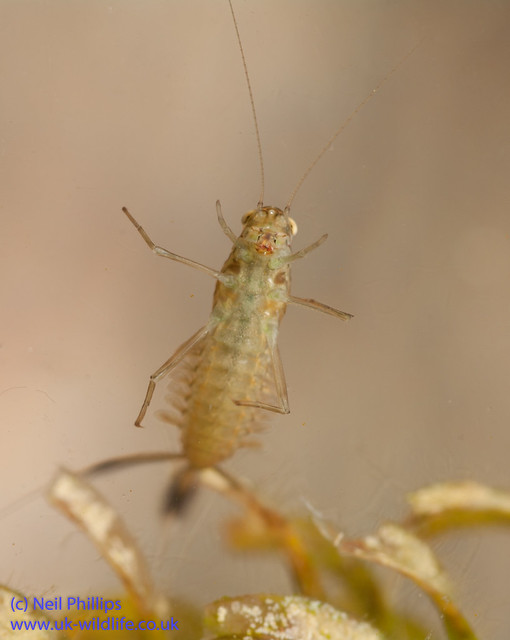 Pond olive mayfly nymph_-2