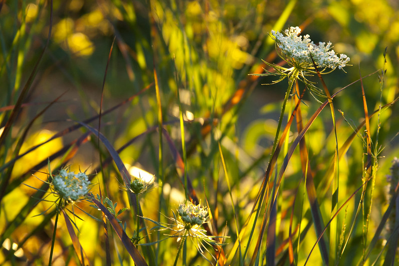 Sunset Panicum Daucus