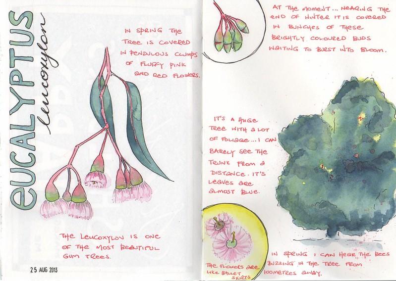 22-2013 // Euchalyptus leucoxylon