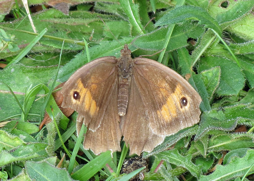 Meadow Brown - Maniola jurtina
