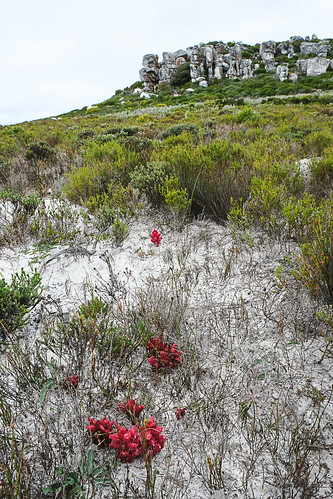 Hyobanche sanguinea at Cape Point by andiwolfe