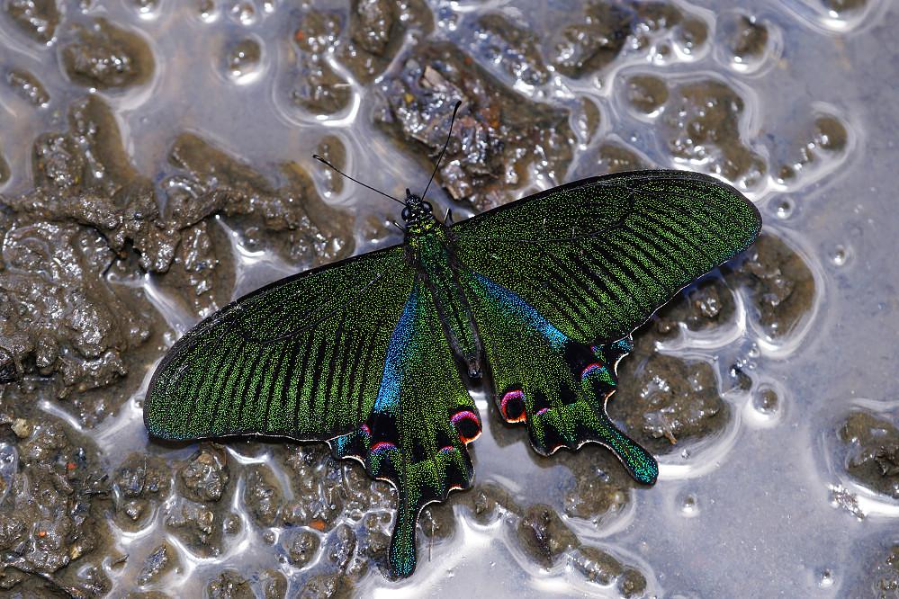鳳蝶屬雙環翠鳳蝶-8