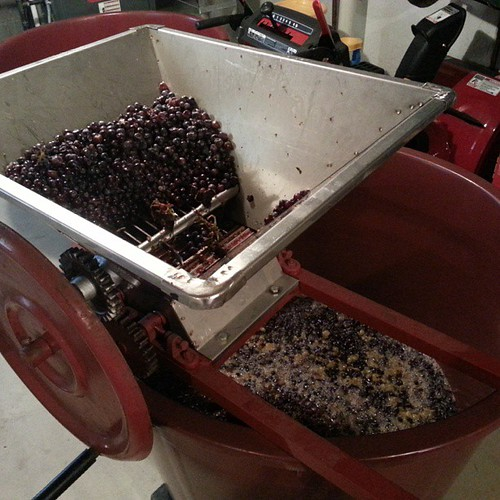 Sangiovese in the crusher.