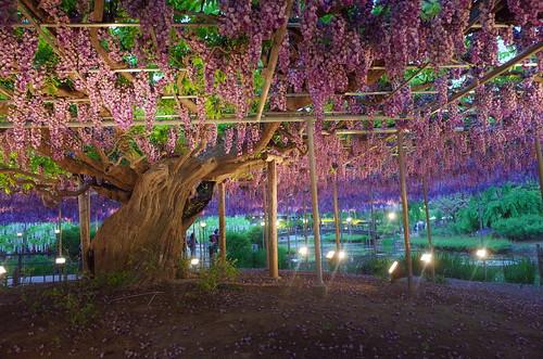 Ashikaga Wisteria festival 2014 2014 29