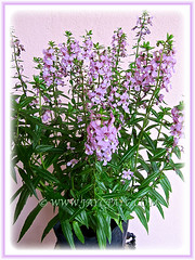Angelonia angustifolia 'Angelmist Lavender' (Summer Snapdragon)- Dec 16 2014