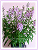 Angelonia angustifolia 'Angelface Lavender' (Summer Snapdragon, Narrowleaf Angelon, Angel Flower, Summer Orchid)