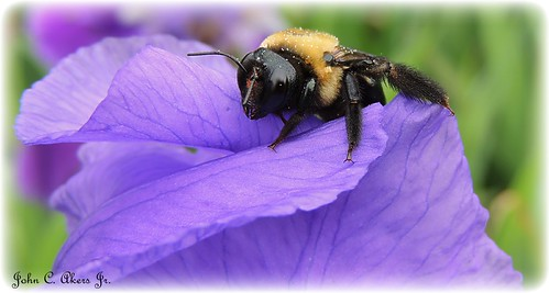 """Bumble Bee and Iris"""