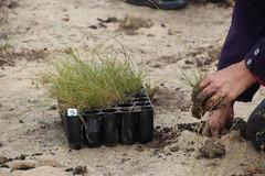 Hands on planting native grasses at Fawkner