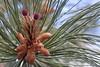 2015/365/142 Birth of Pine Cones