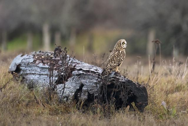 Short-Eared Owl, BC, Nikon D750, AF-S Nikkor 200-500mm f/5.6E ED VR