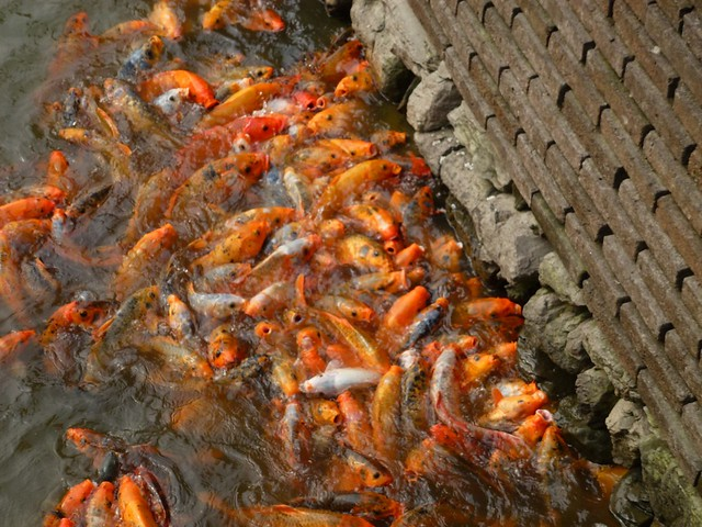 The hundreds of hungry koi karp