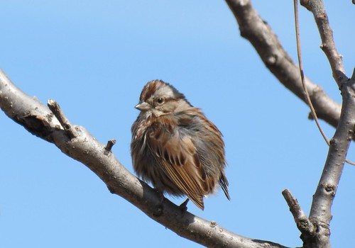 Song Sparrow - Bruant chanteur  Lasalle  5 Avril 2012  IMG_0239 by Diane G....Joyeuses Pâques - Happy Easter!