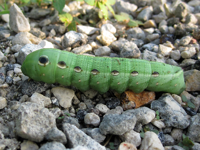 Tersa Sphinx Moth caterpillar