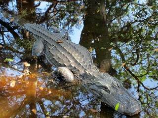 South Carolina Alligator