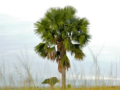 Palmyra Palm (Borassus aethiopum)