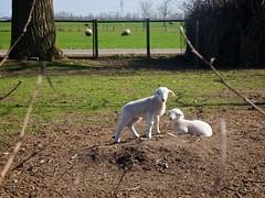 Lammetjes in de tuin