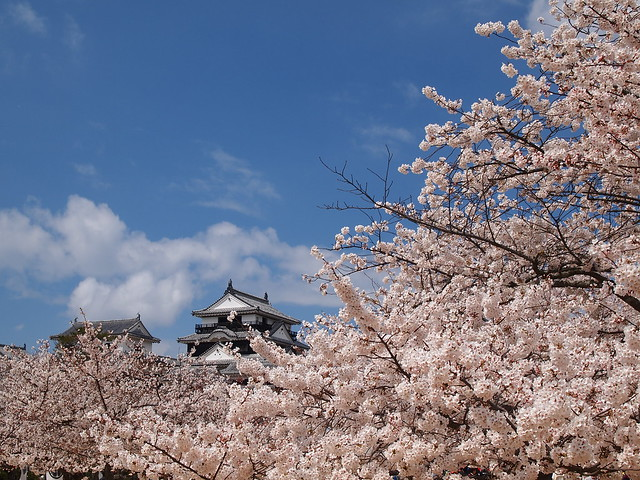 Matsuyama castle with Sakura 3