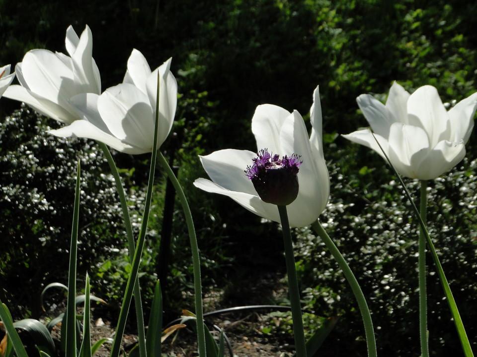 77-21apr12_3909_Botanical_garden_tulip