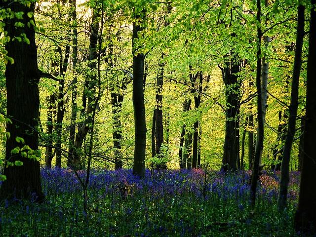 Bluebells at Dawn