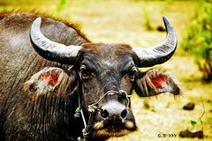 texas longhorn(0.0), bull(0.0), wildlife(0.0), cattle-like mammal(1.0), animal(1.0), water buffalo(1.0), mammal(1.0), horn(1.0), fauna(1.0), close-up(1.0), cattle(1.0),