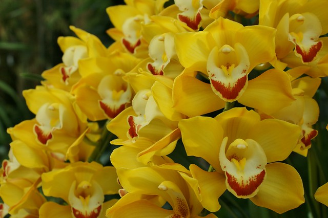 Cymbidium VIVIAN 'Koun No Takarabune' (yellow) (2)
