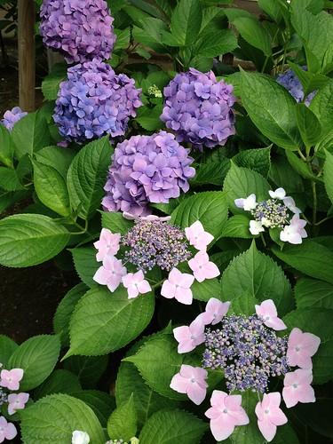 恵比寿公園の紫陽花 (2012/6/18)