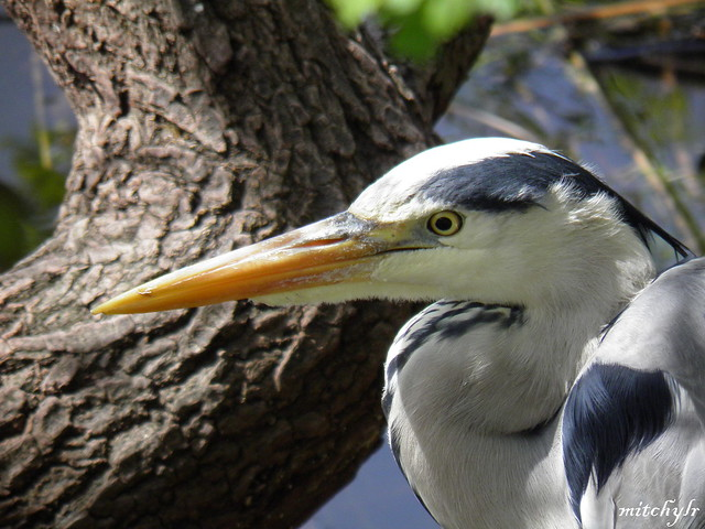 Great Blue Heron 1